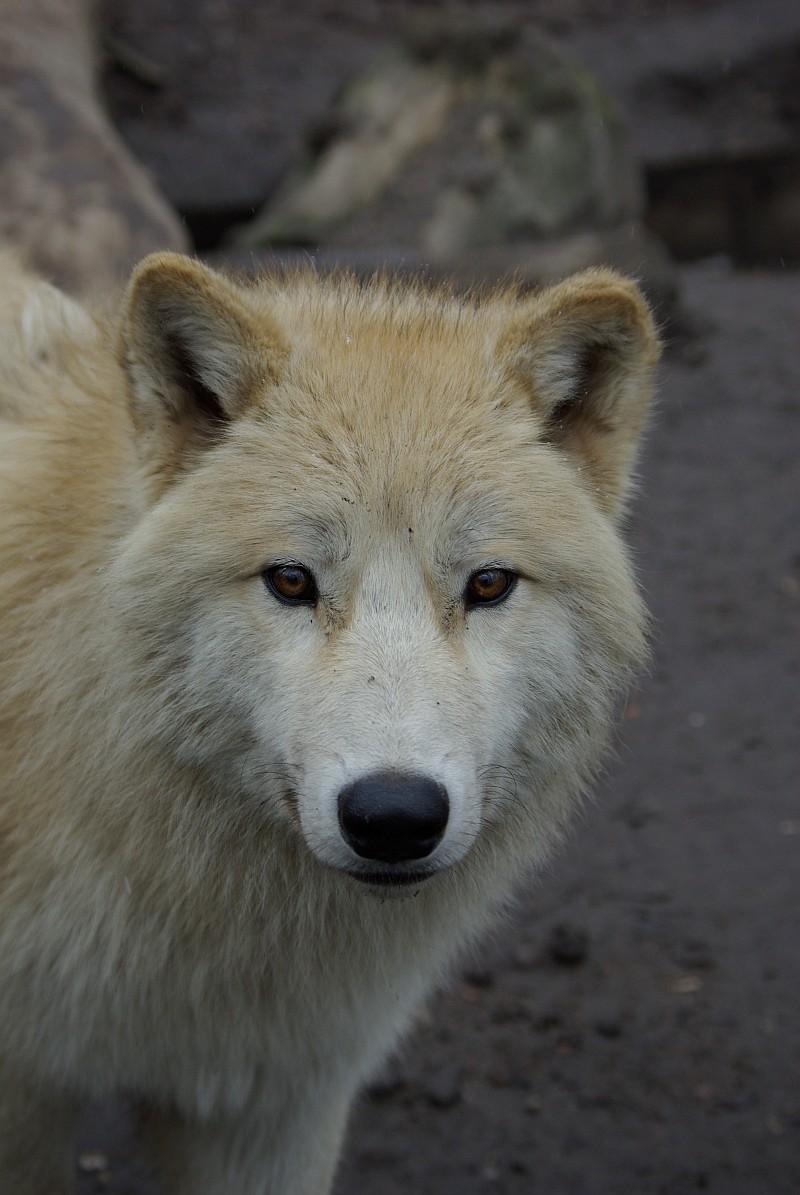 neugieriger Jungwolf